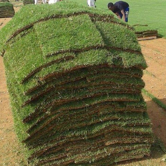 Cultivation Of Natural Grass-6